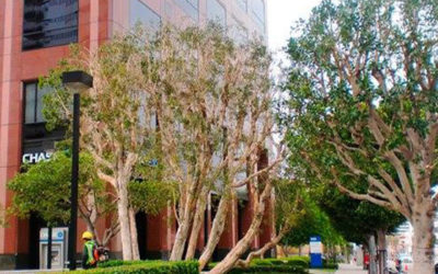 Commercial Tree Trimming Service Los Angeles, CA
