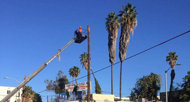 Signs You Might Need to Contact a Tree Removal in Santa Monica