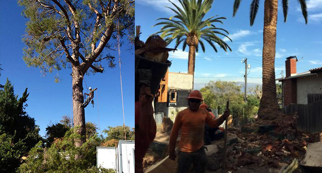Why your trees need specialist Tree trimming services in Van Nuys