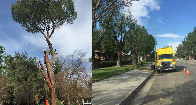 A Service for Tree Trimming in Santa Monica Gives Tree Care Tips